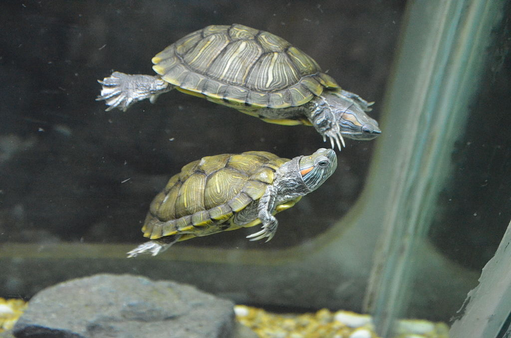 Des tortues dans leur paludarium