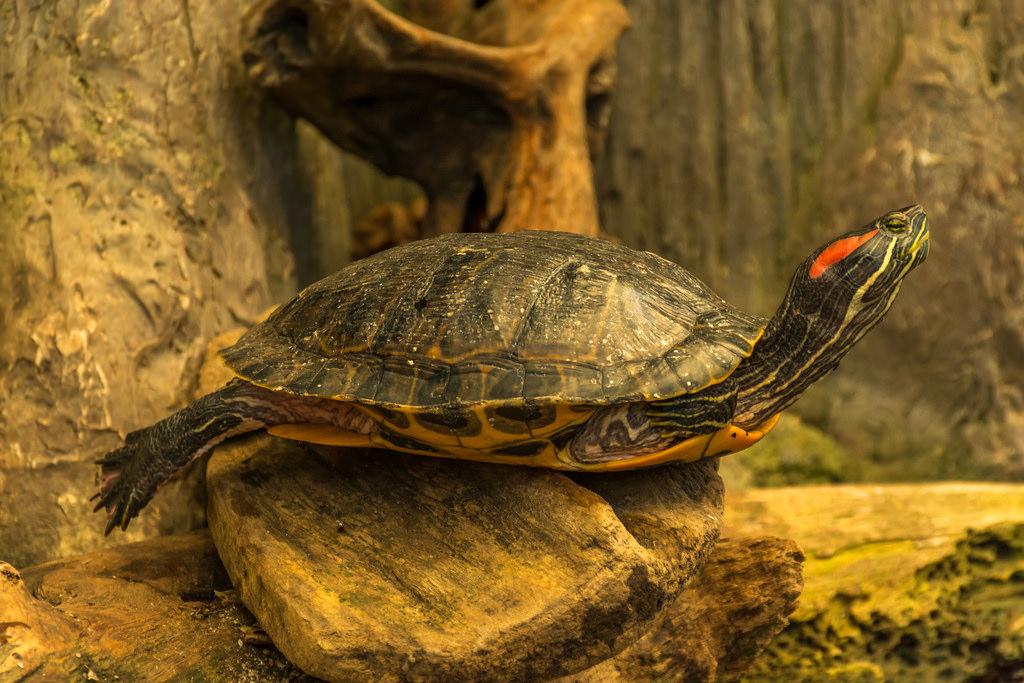 Les tortues aiment une température adaptée