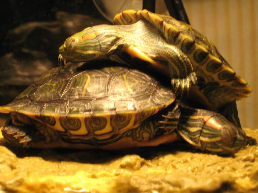 La hibernation chez les tortues